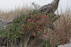 plants native to washington state ribes sanguineum wikipedia