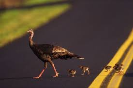 Thanksgiving Bird Factory Farmed Turkeys 7 Shocking Facts Your Thanksgiving Bird