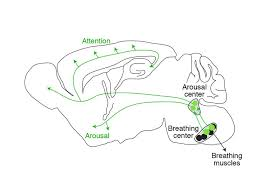 Part Of The Brain Stem That Is Involved In Arousal Study Shows How Slow Breathing Induces Tranquility News Center