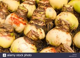 amaryllis bulbs for sale at flower market stock photo royalty