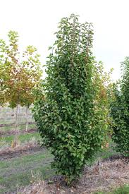 grove nursery pyrus ornamental pear chanticleer pear