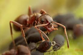 matt cole macro photography ants and aphids