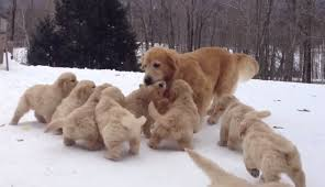 happy thanksgiving here is a golden retriever and puppies