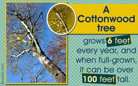 facts about cottonwood trees