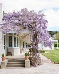 a voluptuous wisteria wisteria sinensis winds its way around the