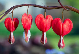 bleeding heart flower brilliantly interesting facts about the bleeding heart plant