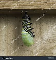 black green yellow monarch butterfly caterpillar stock photo