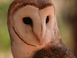 Scientific Name Of Barn Owl Wildlife Field Guide For New Jersey U0027s Endangered And Threatened