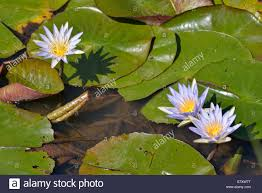 blue lilies blue water lilies or sacred blue lilies nymphaea