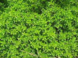 vegetable garden sun requirements thyme growing and harvest information growing herbs