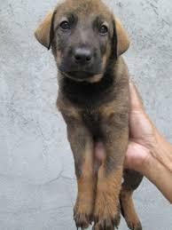 belgian shepherd x mastiff quality puppies belgian malinois x rottweiler
