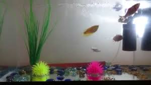fish aquarium at home cute fishes small youtube