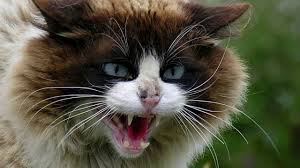 Mad Kitty Meme - angry cat sounds and pictures youtube