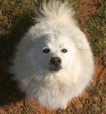 american eskimo dog forum 23 best ideas about american eskimo spritz on pinterest samoyed