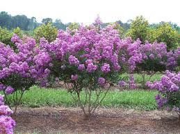 crepe myrtle plants wholesale for sale low grower prices