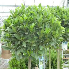 large bay trees for sale online lollipop bay trees delivery by