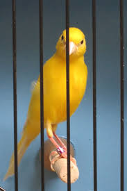 24 best canaries images on pinterest fancy irish and hens
