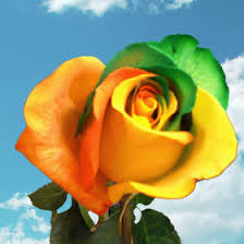 Colored Roses Rainbow Colored Roses Global Rose
