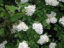White Flowering Shrub - photo gallery u s national park service