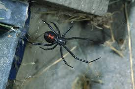black widows are rarely seen but they are plentiful