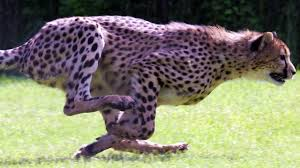 speed freaks 10 of the fastest animals in the world world u0027s