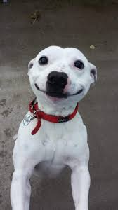 Dog Smiling Meme - list of synonyms and antonyms of the word happy dog smiles