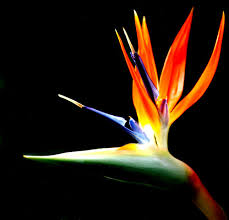 birds of paradise flowers the zees go west what s blooming