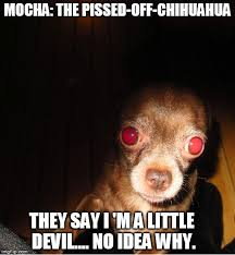 Funny Chihuahua Memes - mocha the pissed off off chihuahua imgflip