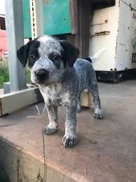 blue heeler x australian shepherd blue heeler dogs u0026 puppies gumtree australia free local