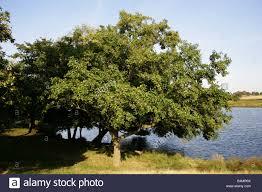 black alder european alder or common alder tree alnus glutinosa