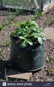 Container Gardening Potatoes - container grown potatoes in a space saving patio bag of compost