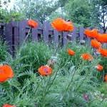 poppy plants learn how to care for poppies