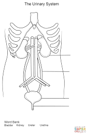 urinary system worksheet coloring page free printable coloring pages