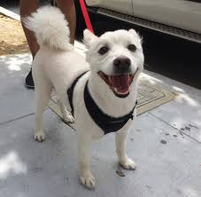 american eskimo dog lab mix dog of the day mochi the american eskimo dog the dogs of san
