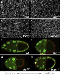 a screen for round egg mutants in drosophila identifies