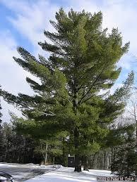 white pine tree pinus strobus white pine minnesota wildflowers