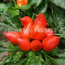 20pcs bag indoor house plants seeds ornamental pepper