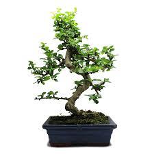 Small Indoor Trees by Indoor Zen Flowering Tea Tree