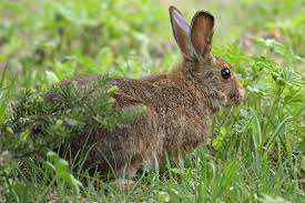 February Will Go Out Like A Lion Colorado Daily Snow Report Snowshoe Hare Wikipedia