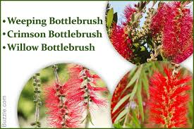 information about the astonishingly beautiful bottlebrush tree
