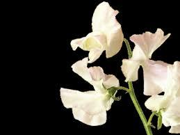 sweet pea flowers sweet pea flower meaning symbolism teleflora