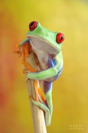 35 stunning macro photography ideas eyed tree frog tree