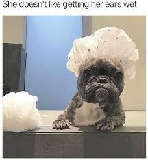 French Bulldog Meme - she doesn t like getting her ears wet funny memes daily lol pics