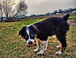 australian shepherd types seven surprising facts about australian shepherds dog discoveries