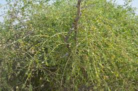 what is the impact of cocculus pendulus on plants that climb