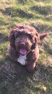 Do Cockapoo Dogs Shed A Lot by 12 Best Cockapoo Images On Pinterest Animals Goldendoodles And