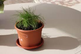 erba cipollina in vaso le mie piante aromatiche idee di la cucina vorrei