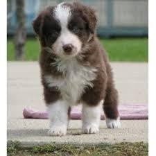 australian shepherd puppies rescue toy story aussies miniature australian shepherd breeder in flint