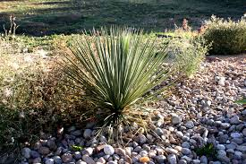 plants for rock gardens yucca plant in rock garden picture free photograph photos