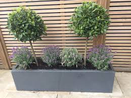 beautiful bay trees teamed with lavender in a stylish grey